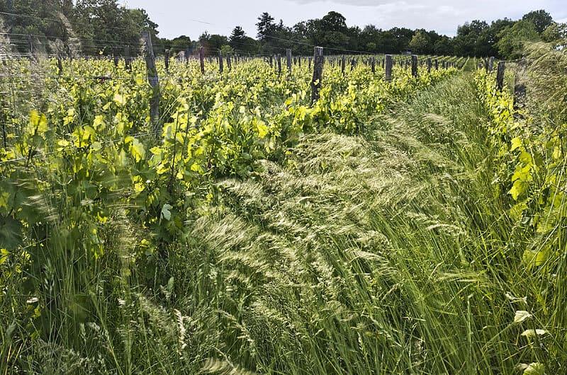 Čotar - Ivanji grad Kras - trava v vinogradu